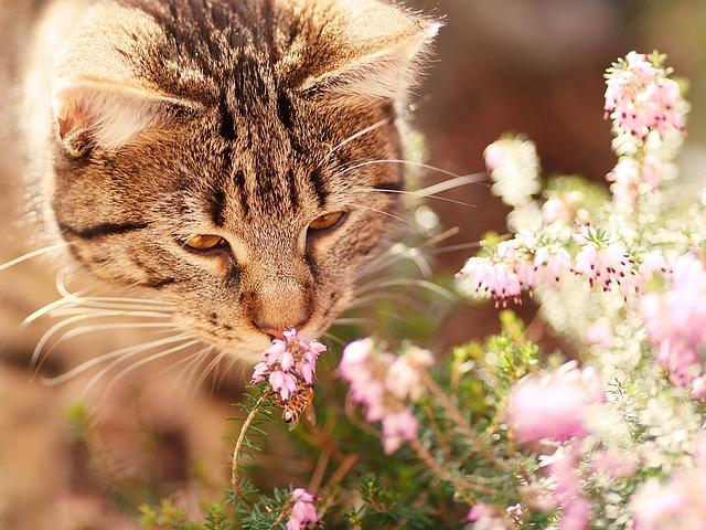 koty syberiany